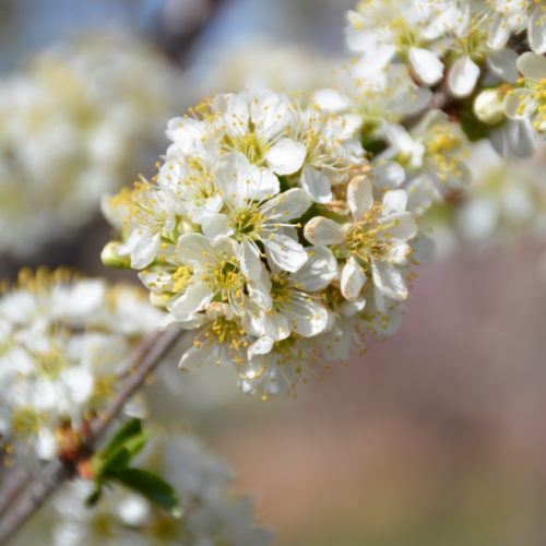 Valentine Cherry Tree Flower Close Up