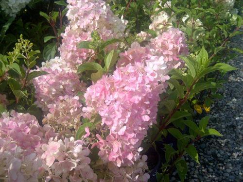 Vanilla Strawberry Hydrangea Flower Close Up