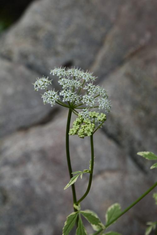Variegated Bishop Goutweed Flower Close Up