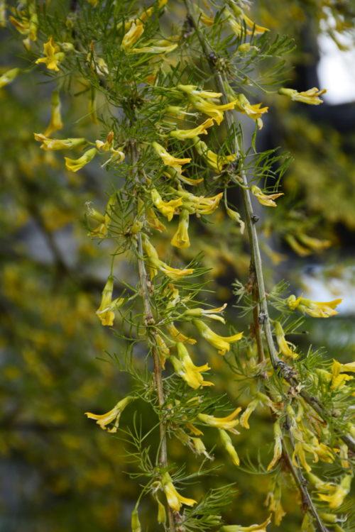 Walker Caragana Flower Close Up