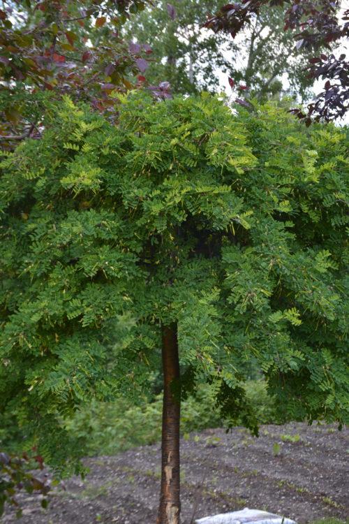 Weeping Caragana Full Tree