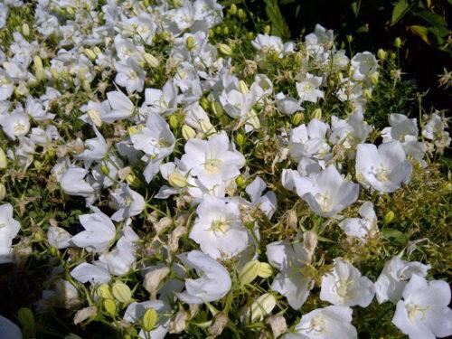 White Clips Bellflower in Flower