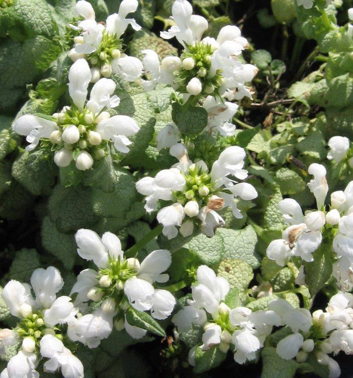 White Nancy Lamium Flower Close Up