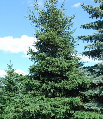 White Spruce Full Tree