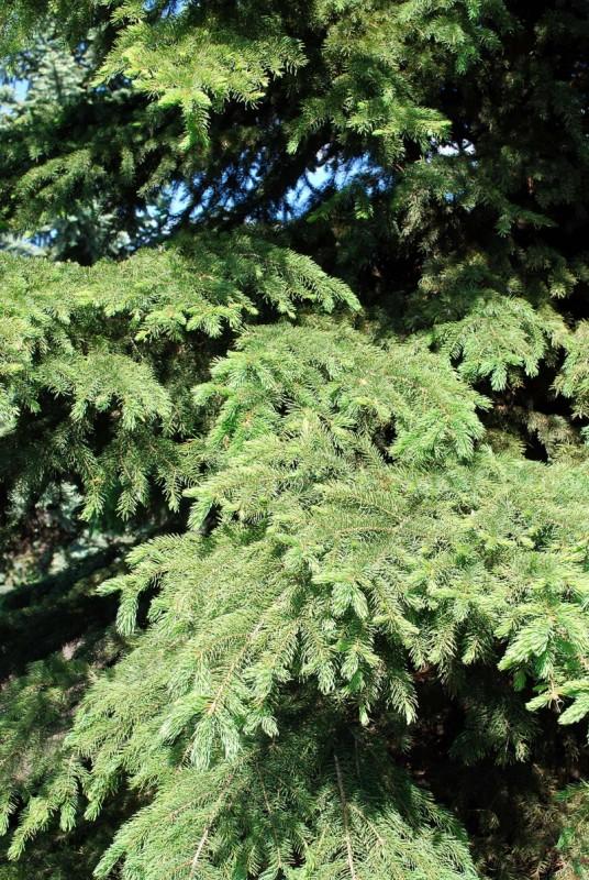 White Spruce Needles Close Up
