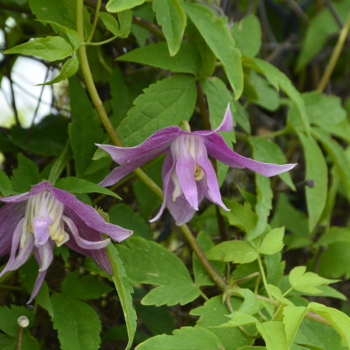 Willy Clematis Flower Close Up