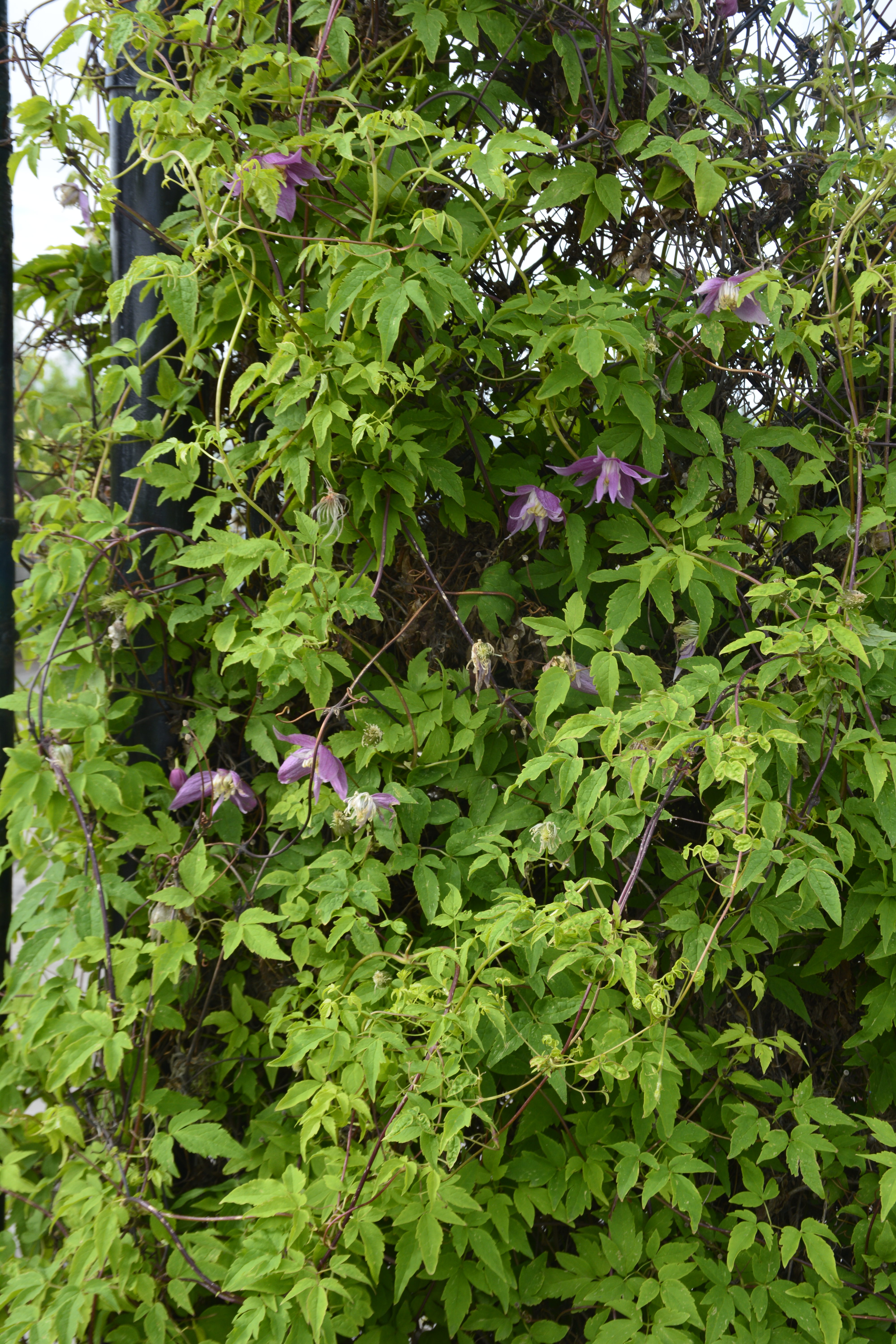 Willy Clematis in Full