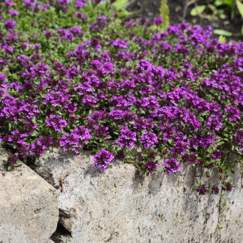 Wooly Thyme in Flower