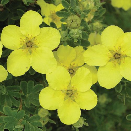 Yellow Gem Potentilla Flower Close Up