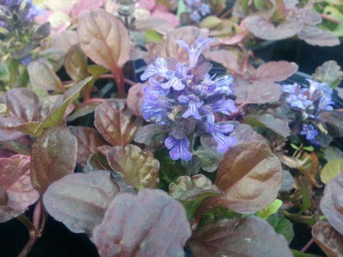 Burgundy Glow Bugleweed Flower Close Up