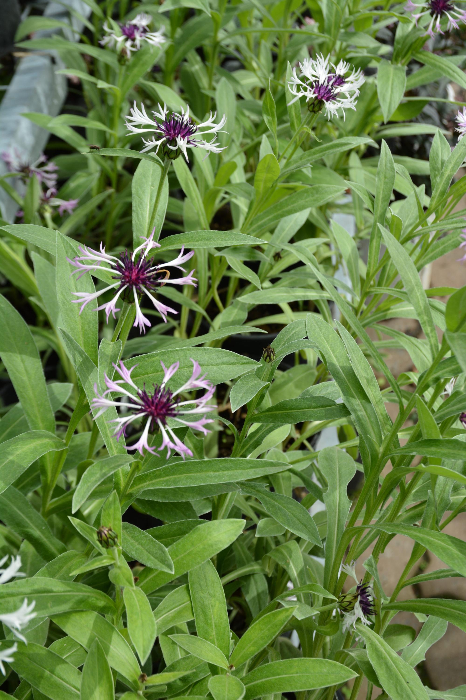 Amethyst in Snow Knapweed in Flower
