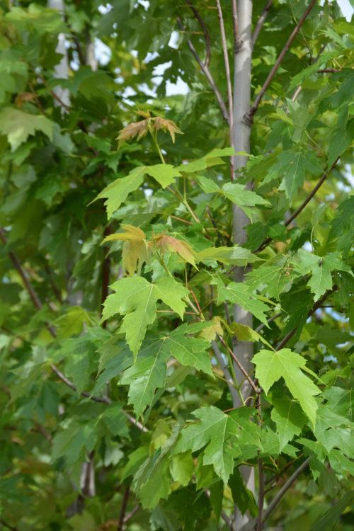 Autumn Blaze Maple Foliage Close Up