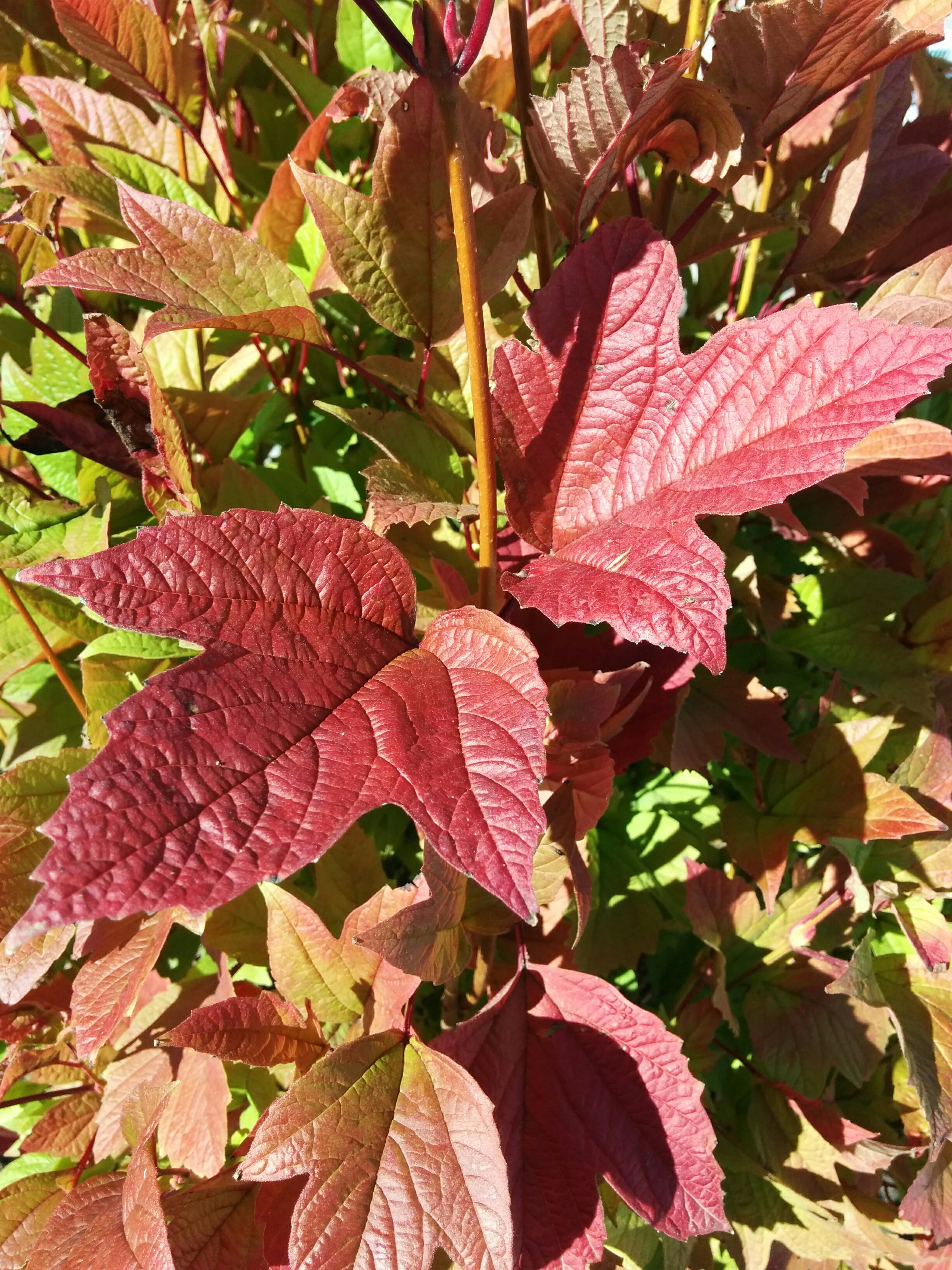 Bailey Compact Cranberry Fall Colours