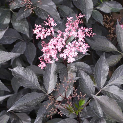 Black Beauty Elder Flower Close Up