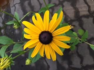 Black Eyed Susan Flower Close Up