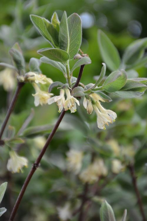 Borelias Haskap Flower Close Up