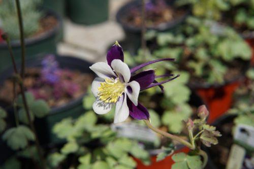 Colorado Violet and White Columbine Flower Close Up