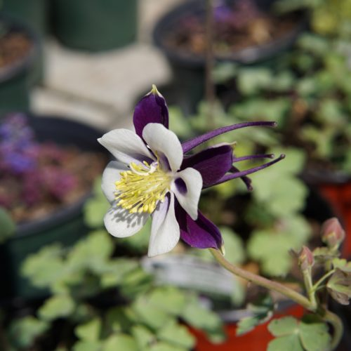 Colorado Violet and White Columbine Flower Close Up