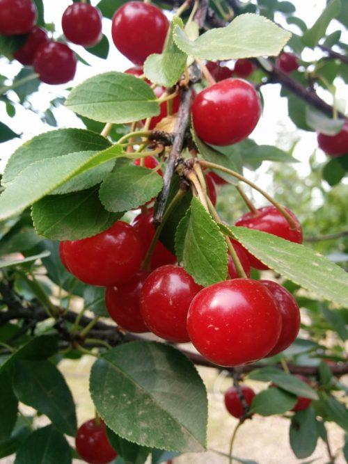 Crimson Passion Cherry Tree Fruit Close Up