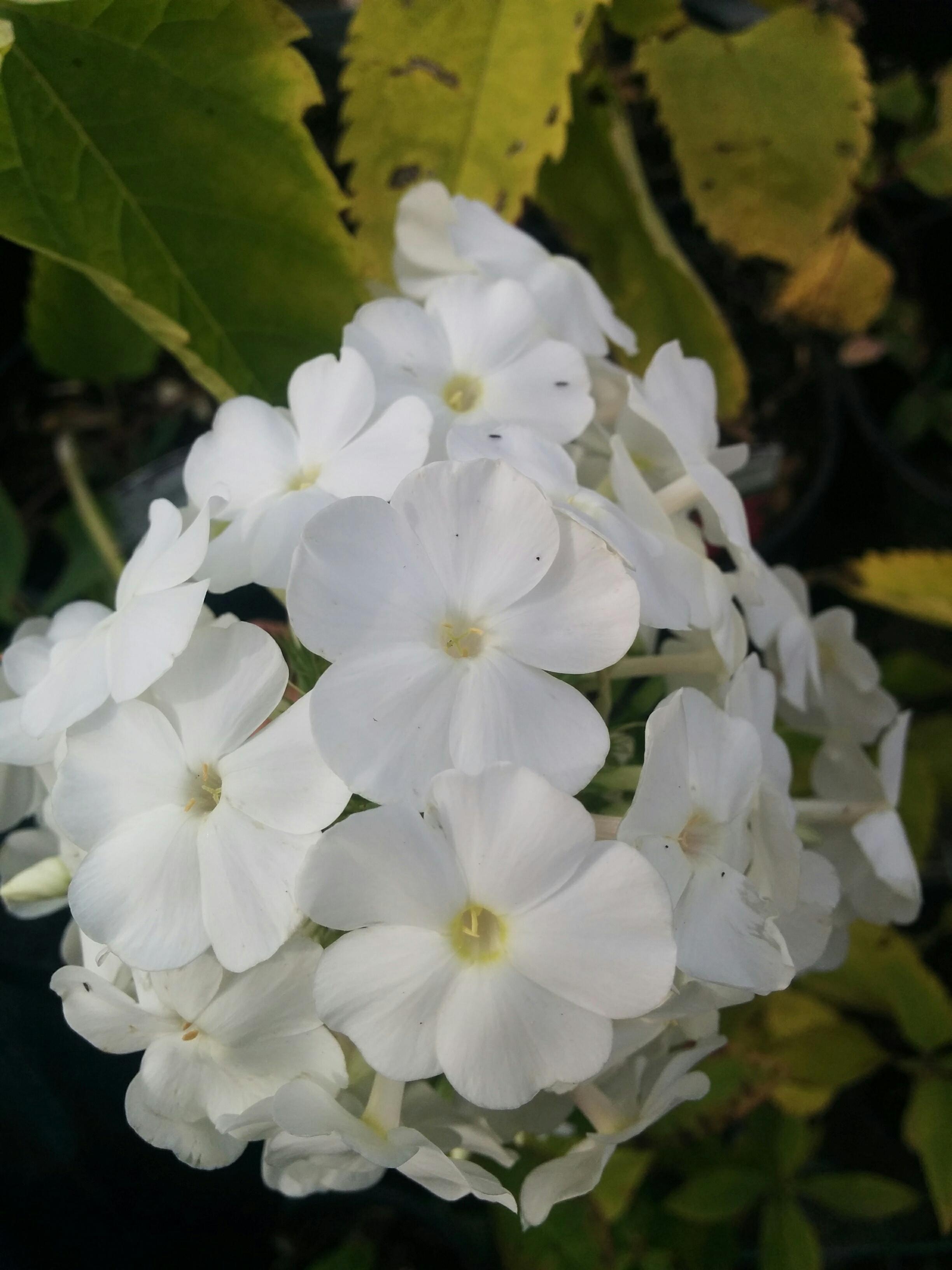 David Phlox Flower Close Up