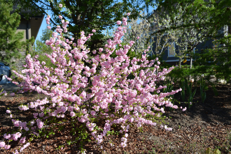 Double Flowering Plum in Flower