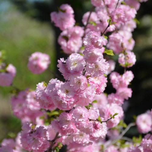 Double Flowering Plum Flower Close Up