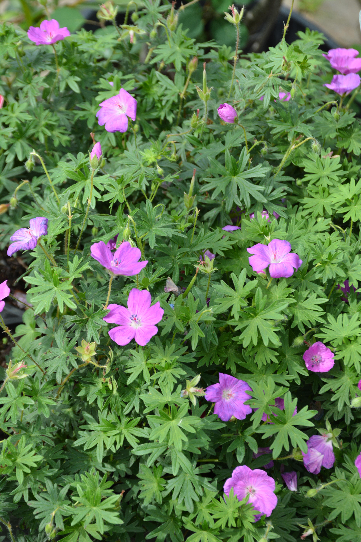 Garden Geranium in Flower
