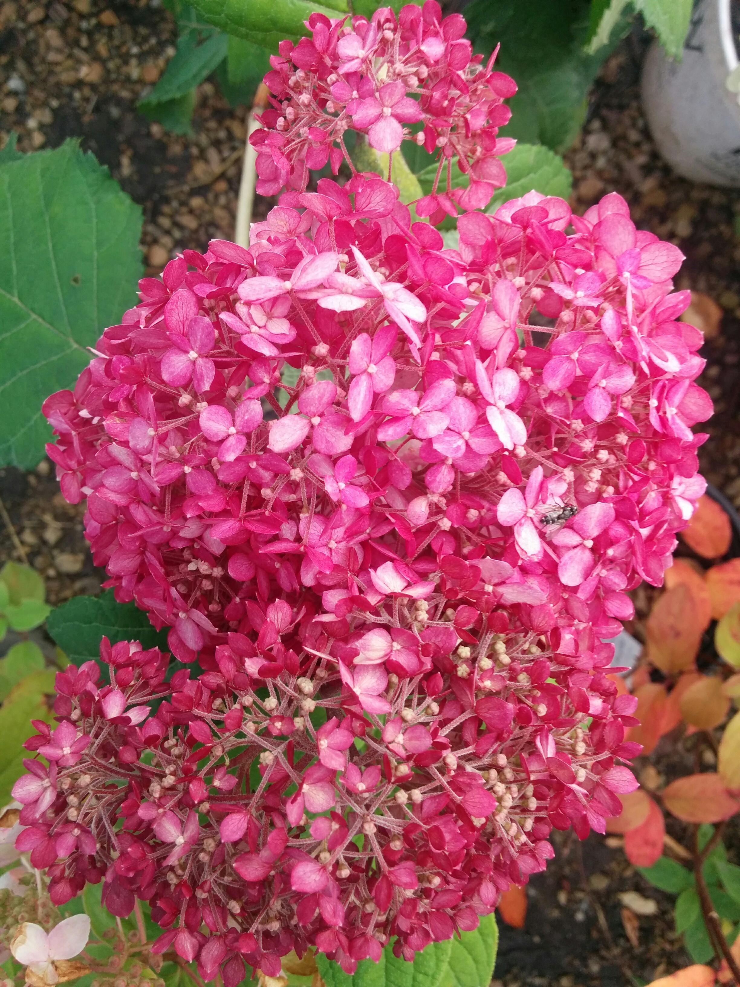 Invincibelle Hydrangea Flower Close Up