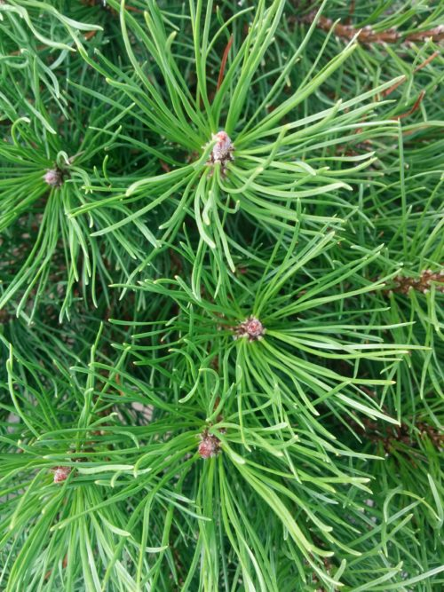 Mugo Pine Needles Close Up