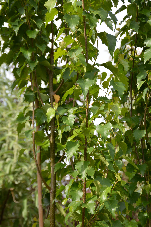 Parkland Pillar Birch Foliage Close Up
