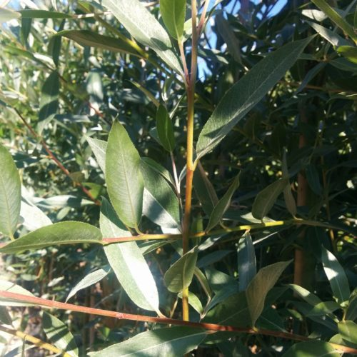 Silver Leaf/Silky Willow Foliage Close Up
