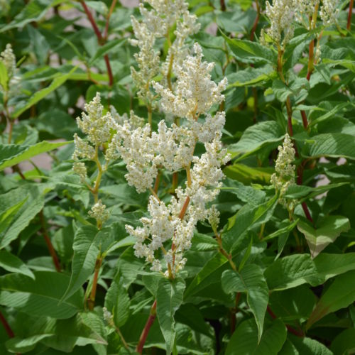 White Fleece Flower/Snakeweed Flower Close Up