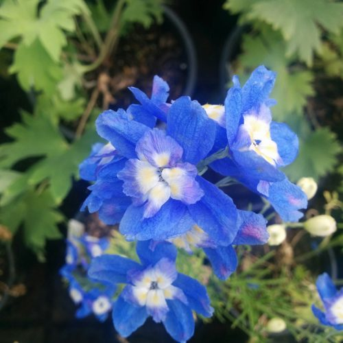 Summer Cloud Delphinium Flower Close Up
