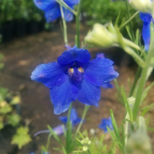 Blue Butterfly Delphinium Flower Close Up
