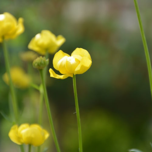 Superbus Globeflower Flower Close Up