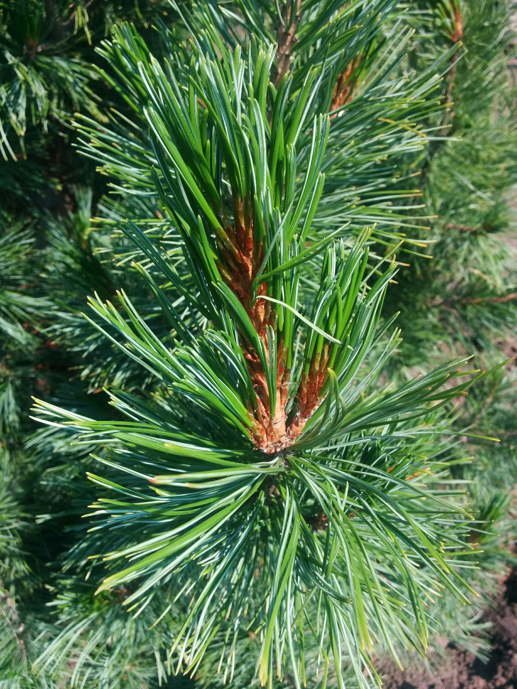 Swiss Stone Pine Needles Close Up