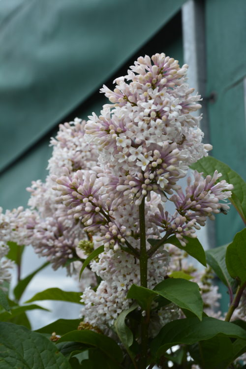 Villosa Late Lilac Flower Close Up