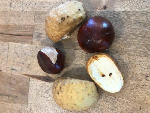 Ohio Buckeye Fruit Close Up