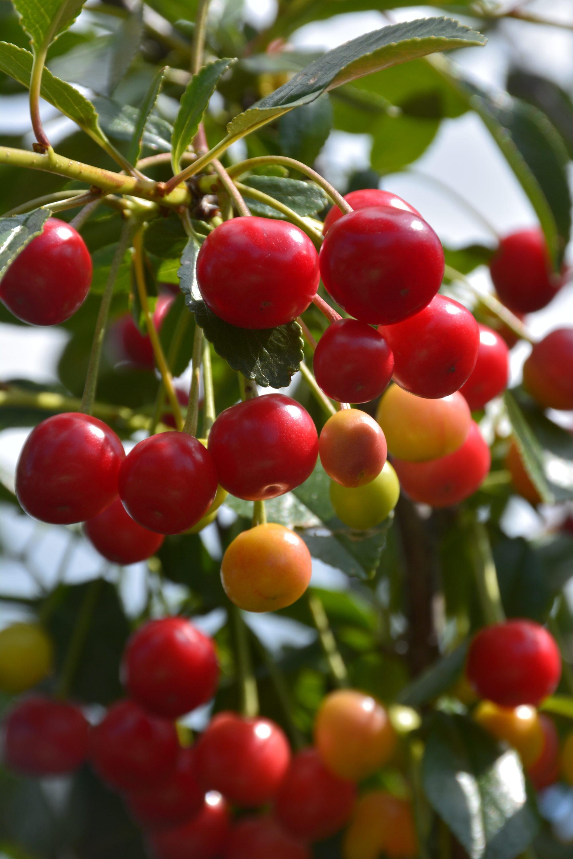 Carmine Jewel Cherry Tree Fruit Close Up