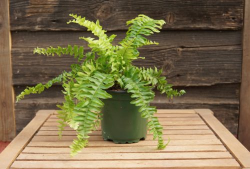 Boston Fern overview