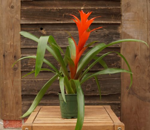 Bromeliad Red 5 inch overview