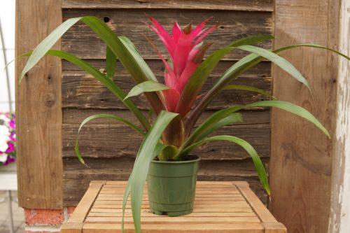 Bromeliad pink overview