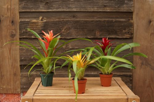Bromeliad Trio 2 inch