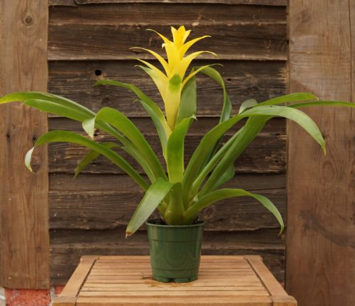 Bromeliad yellow 5 inch overview