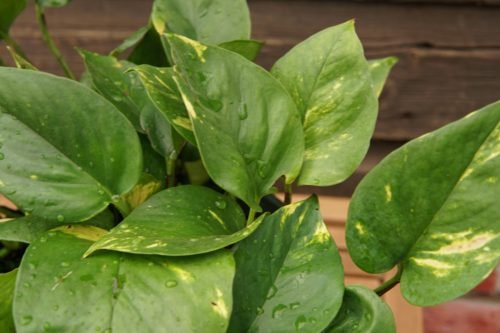 Golden pothos closeup