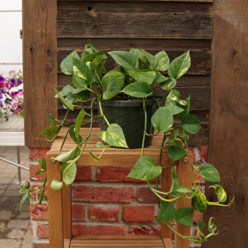 Golden pothos overview