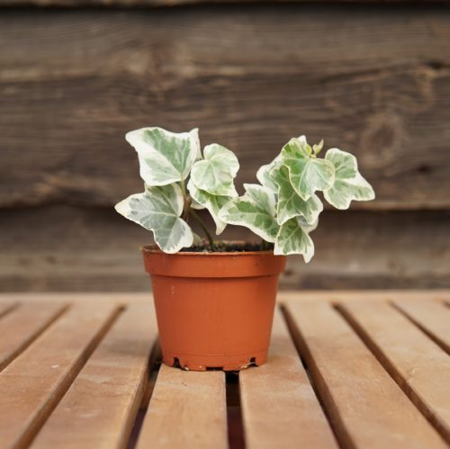 Hedera Ivy Overview
