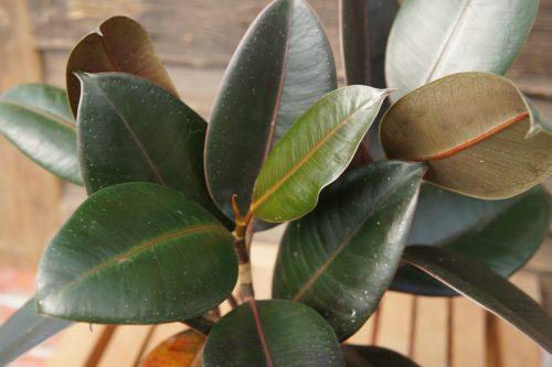 Rubber plant closeup