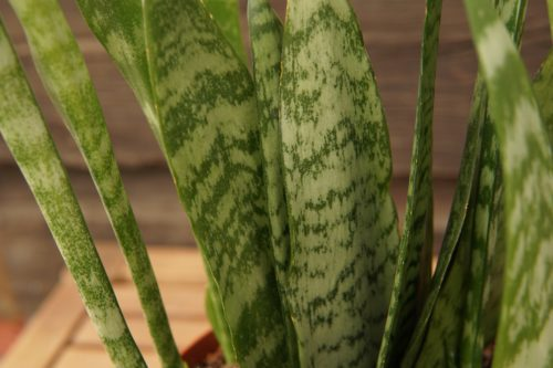 Snake plant closeup