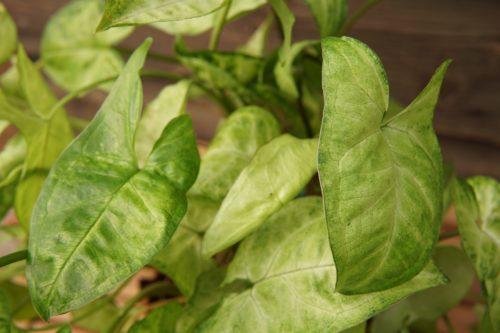 Arrowhead Plant Close Up